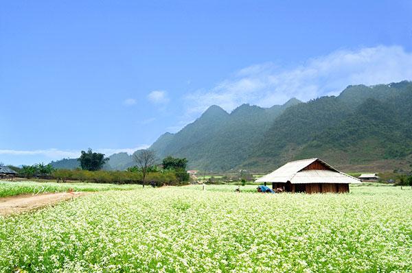 Đông cũng là mùa hoa cải trắng nở rộ tại cao nguyên Mộc Châu