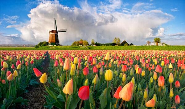 Những cánh đồng hoa Tulip rực rỡ trải rộng ở Hà Lan
