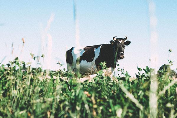 Nhiệt độ cao sẽ bẻ gãy cấu trúc protein của sữa bò