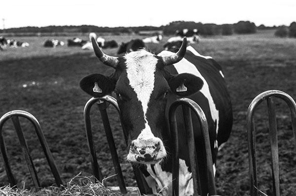 Ngành công nghiệp sữa bò gây ra rất nhiều tranh cãi