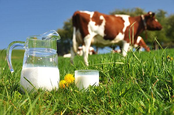 Liệu bổ sung dinh dưỡng bằng sữa bò có phải là lựa chọn an toàn?
